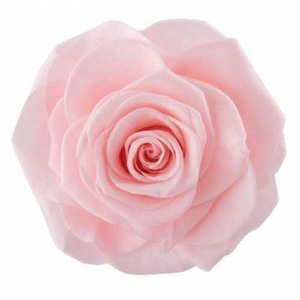 Rose Ava Pink Champagne