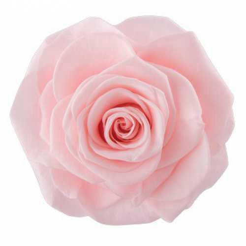 Rose Monalisa Pink Champagne