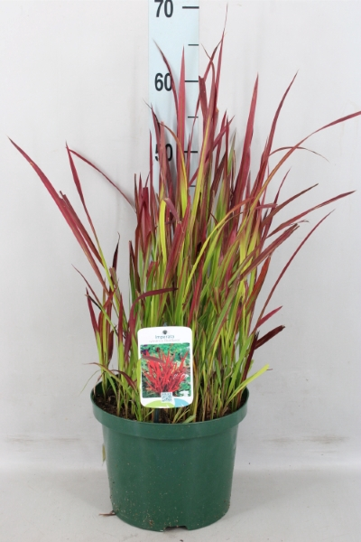 <h4>Imperata cylindrica 'Red Baron'</h4>