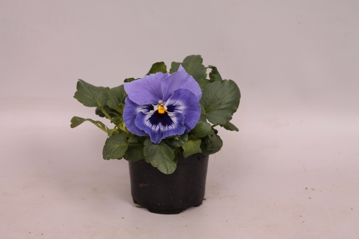 <h4>Viola wittrockiana F1 Marina</h4>