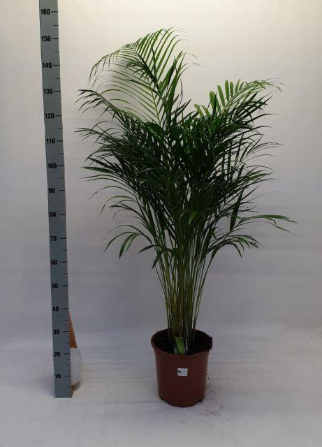 <h4>DYPSIS LUTESCENS a2</h4>
