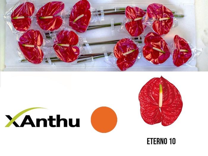 <h4>ANTH A ETERNO</h4>