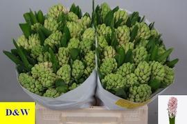 <h4>Hyacinthus Fondant</h4>