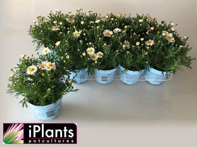 <h4>Argyranthemum La Rita C White</h4>