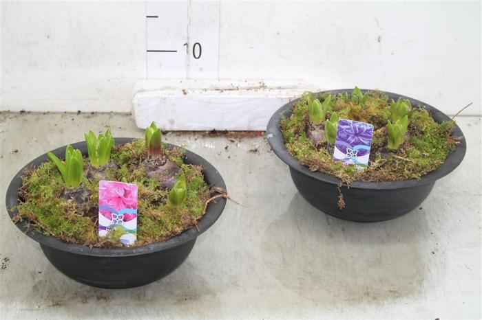 <h4>Arr Hyacinth In Zinken Schaal</h4>