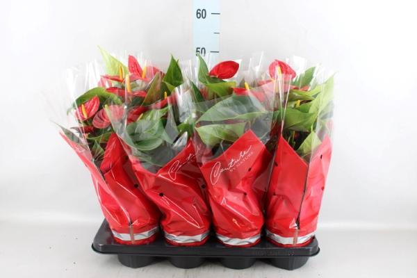 <h4>Anthurium andr. 'Success Red'</h4>