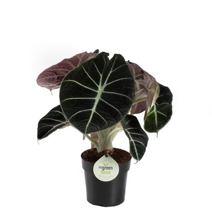 <h4>Alocasia Black Velvet 11Ø 30cm</h4>