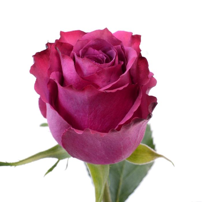 <h4>Rose Blueberry</h4>
