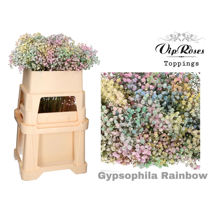 <h4>GYPS PA RAINBOW</h4>