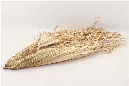 <h4>DRIED BASIC LEAVE FIREGRASS L60.0W4</h4>