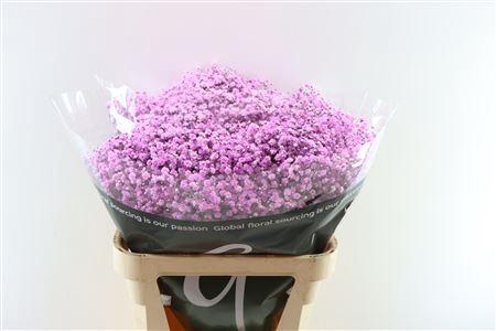 <h4>Gyps Dyed Lavendel</h4>