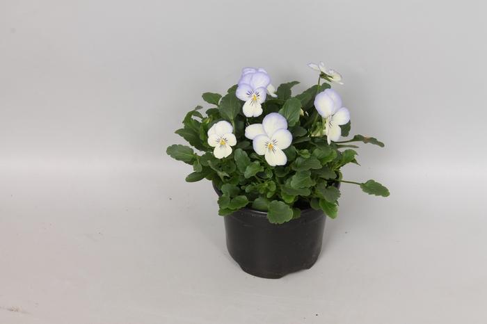<h4>Viola cornuta F1 Blue Picotee</h4>