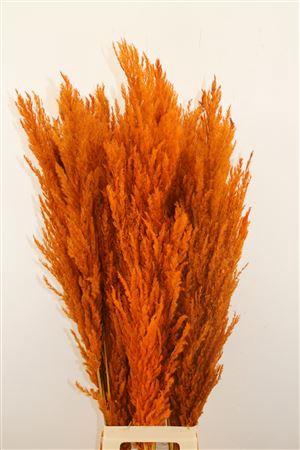 <h4>DRIED PAMPAS GRAS ORANJE ( 8 STEM )</h4>