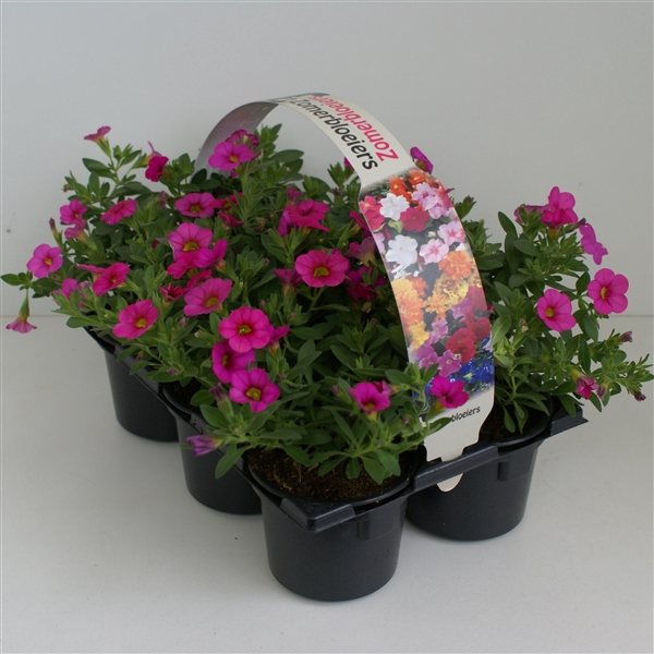 <h4>Calibrachoa roze 6p</h4>