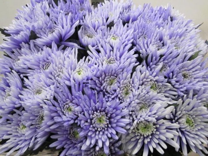 <h4>Chr G Topspin Pastel Lilac</h4>