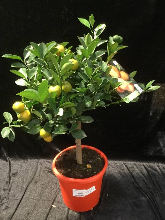 <h4>Citrus calamondin</h4>