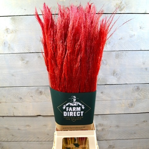 <h4>PAMPAS RED DRIED</h4>