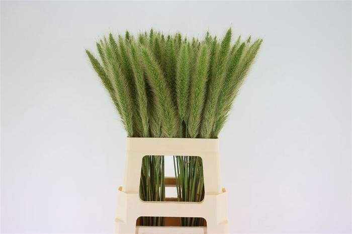 <h4>Pennisetum</h4>