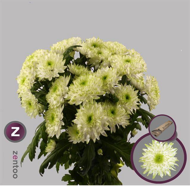 <h4>Chrysanthemum TR 'Zembla Lime'</h4>
