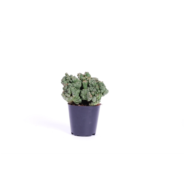 <h4>Cereus per. Monstrosus</h4>