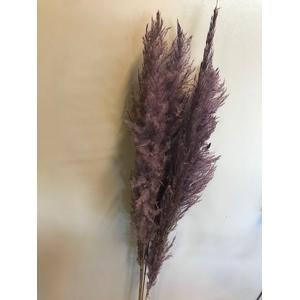 Pampas grass lilac 5pc - 120cm
