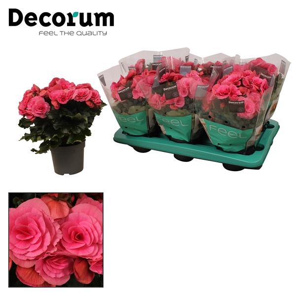 <h4>Begonia ''berseba'' paars 13cm</h4>