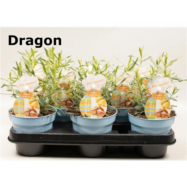 <h4>Dragon</h4>