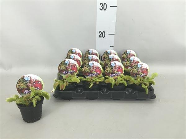 <h4>Dionaea muscipula</h4>