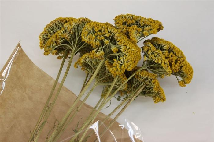 <h4>Dried Achillea Parker Naturel</h4>
