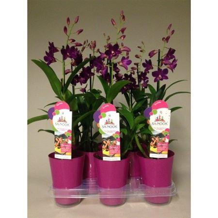 <h4>Dendr Sa-nook Purple Happiness 1 Tak Ompot</h4>