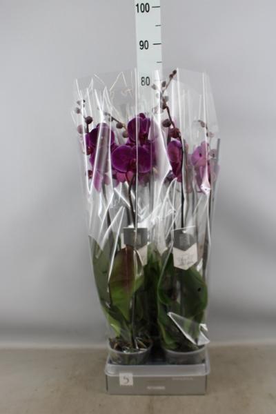 <h4>Phalaenopsis  'FC Joyride'</h4>