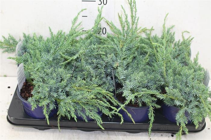 <h4>Juniperus Squamata 'blue Carpet'</h4>