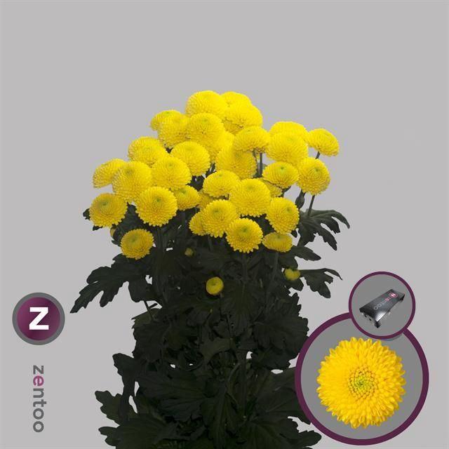 <h4>Chrysanthemum TR 'Limoncello'</h4>