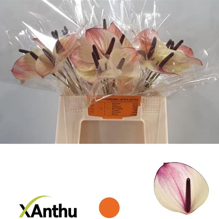 <h4>ANTH A MAX VIOLETA</h4>