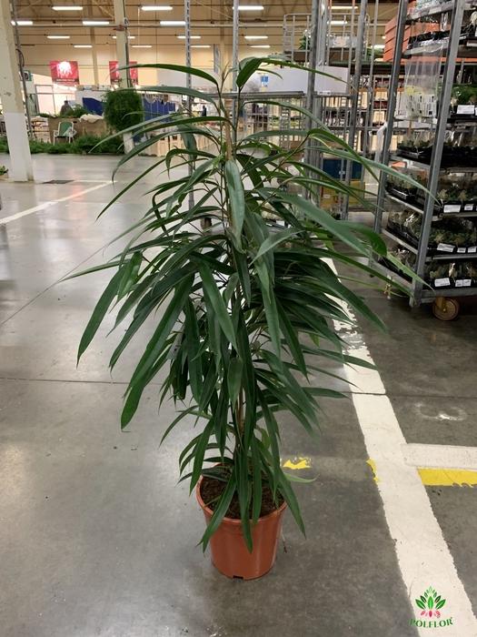 <h4>Ficus Ali 21</h4>