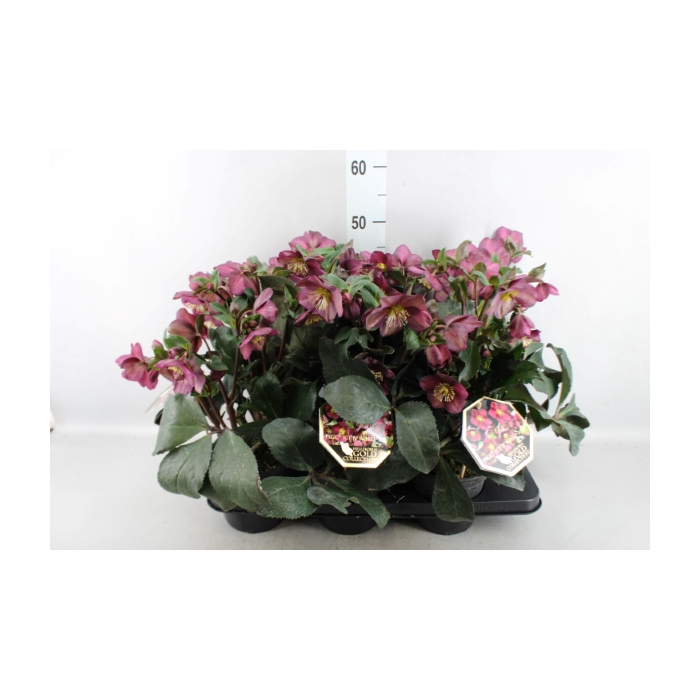 <h4>Helleborus  'Ice N Roses Red'</h4>
