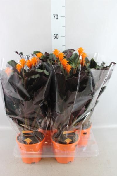 <h4>Calathea crocata 'Tassmania'</h4>