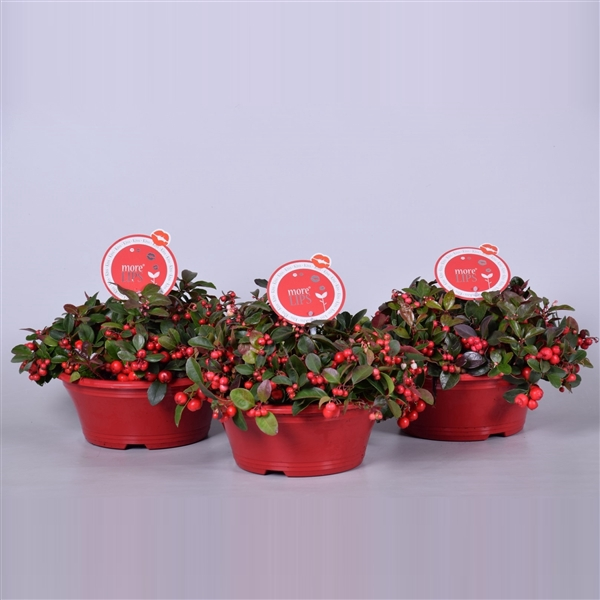 <h4>MoreLIPS® Gaultheria Big Berry in schaal, P23</h4>