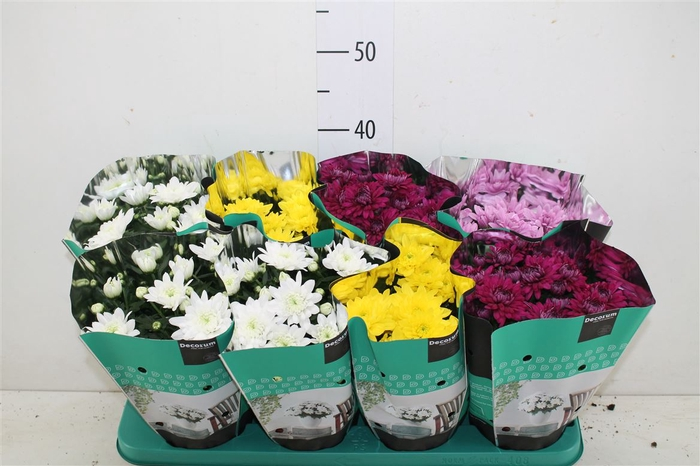 <h4>Chrysanth Grandezza Gemengd</h4>