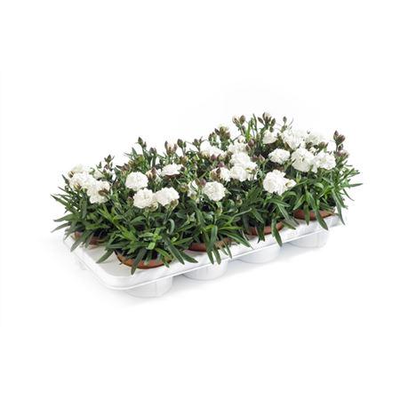 <h4>Dianthus Caryophyllus 'cosmos'</h4>