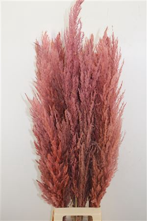 <h4>DRIED PAMPAS GRAS LICHT ROZE  ( 8 STEM ) **</h4>