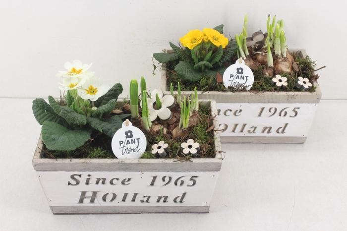 <h4>arr.. Primula PL - Hout kist since 1965 285/4</h4>