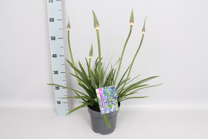 <h4>vaste planten 19 cm  Agapanthus Pretty Sandy</h4>