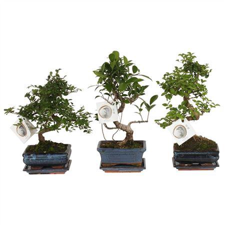 <h4>Bonsai A1152001 Gemengd Keramiek</h4>