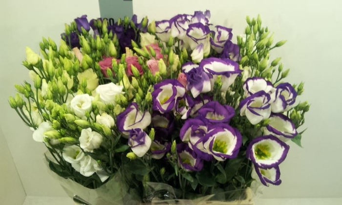 <h4>Eustoma E Mix</h4>