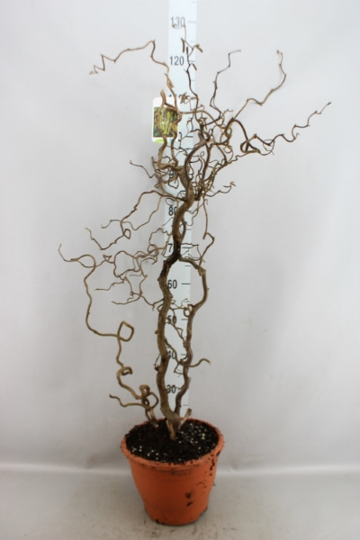 <h4>Corylus avellana 'Contorta'</h4>