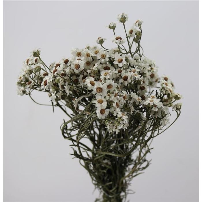 <h4>DRIED FLOWERS - IXODIA 30/40CM</h4>