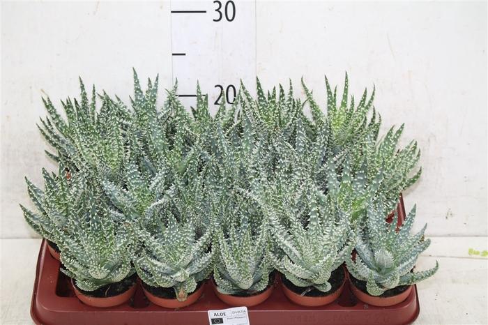 <h4>Aloe Humilis</h4>