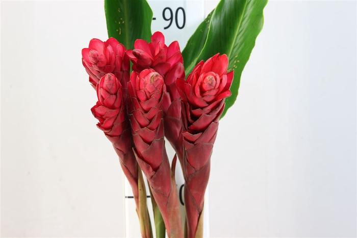 Alpinia Rood