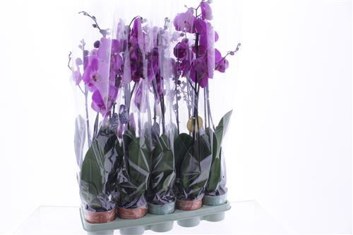 <h4>Phalaenopsis purple</h4>